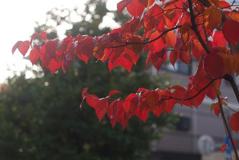 写真:紅葉したヤマボウシ