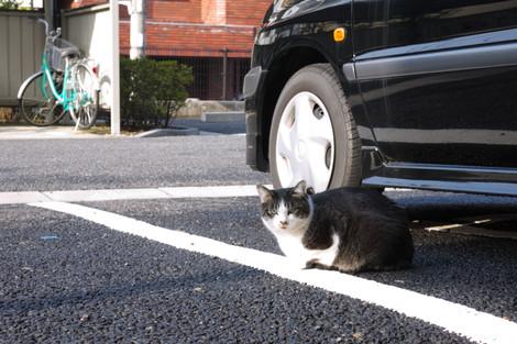 写真:駐車場でひなたぼっこ中の、にゃんこ