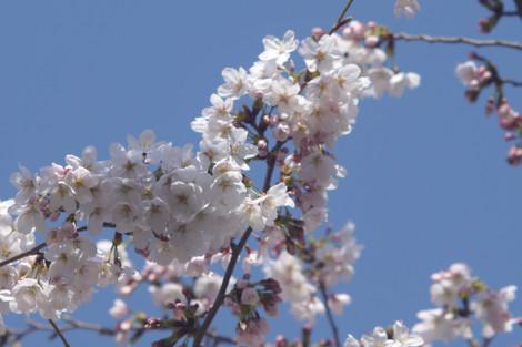 写真:桜の花のアップ