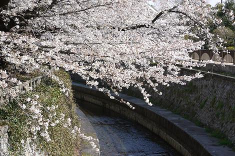 写真:哲学堂公園の桜