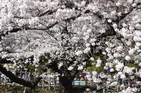Sakura20120406_3