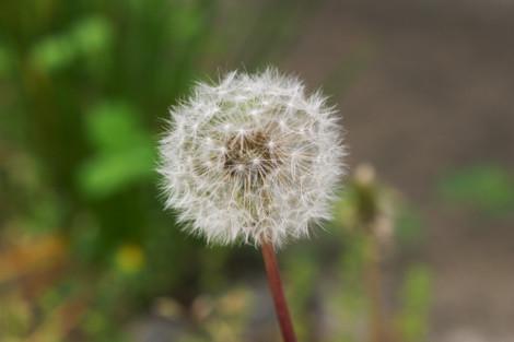 写真:タンポポの綿毛。まんまる。