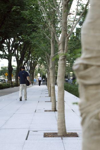 写真:植えられたばかりの街路樹