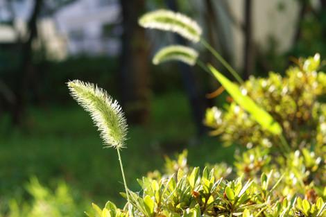 写真:逆光で穂が輝いている、ねこじゃらし