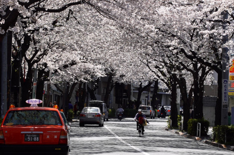 写真:満開の桜がアーチ状になっていて美しい