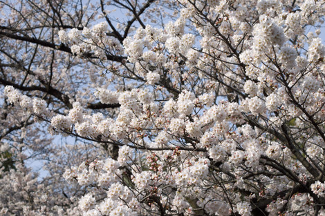 写真:哲学堂公園の桜(アップ)