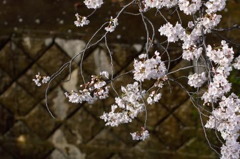 写真:哲学堂公園の桜、その2(アップ)